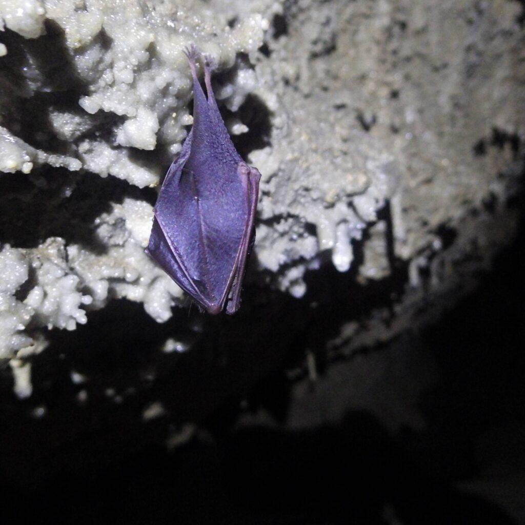 Chauve souris dans une grotte près de Gourette